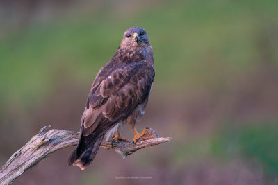Wildlife in the blind - buzzards and black redstarts