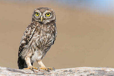 How to photograph the little owls