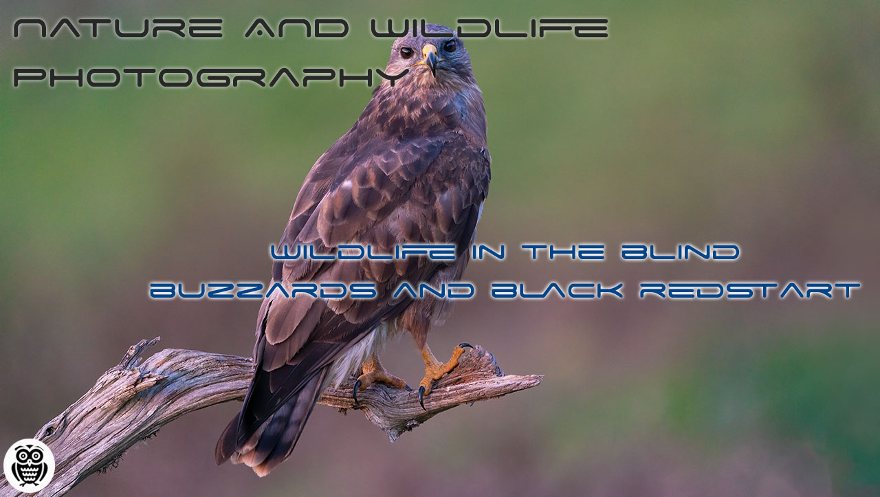 Wildlife in the blind - buzzard and black redstart - Streamed by Giuseppe Gessa