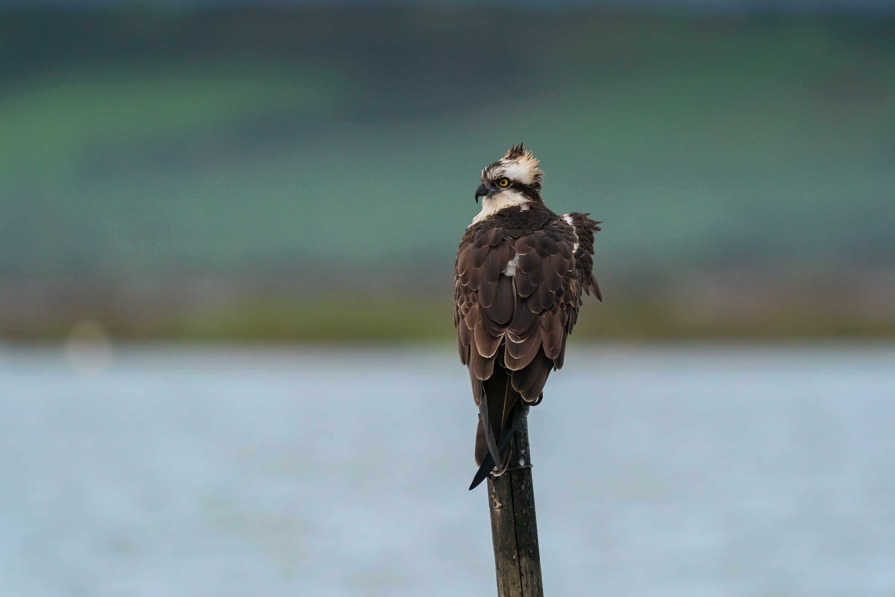 How to photograph an osprey